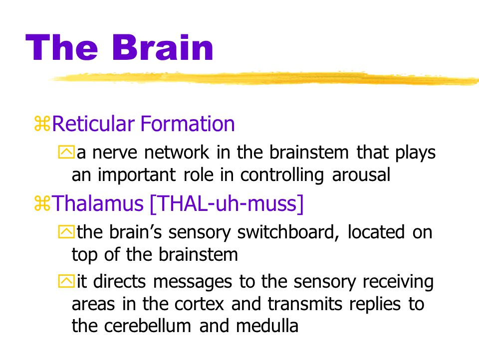 The Brain Reticular Formation Thalamus [THAL-uh-muss]